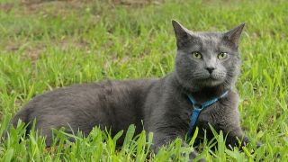 Chat chartreux - par Gayle Trautman - https://www.flickr.com/photos/gayletphotos/