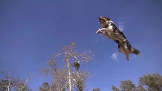 Jumpy, border collie adepte du parkour