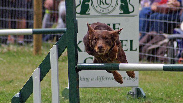 Agility - par David Merrett - https://www.flickr.com/photos/davehamster/