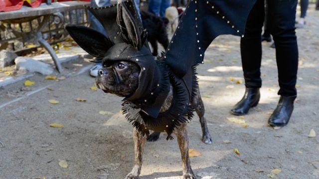 Bat Dog : le chien chauve souris