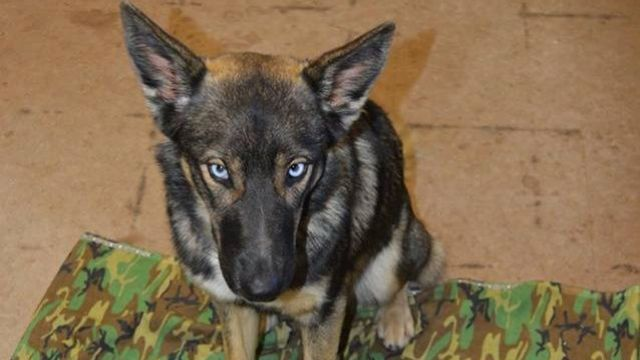 Luna : husky croisé berger allemand - par Naval Base Coronado - https://www.facebook.com/NavalBaseCoronado