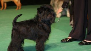 affenpinscher - par Ger Dekker - https://www.flickr.com/photos/ger_dekker/