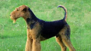 airedale terrier - par Zuni1520 (Own work) [GFDL (http://www.gnu.org/copyleft/fdl.html), GFDL (http://www.gnu.org/copyleft/fdl.html) or CC-BY-SA-3.0-2.5-2.0-1.0 (http://creativecommons.org/licenses/by-sa/3.0)], via Wikimedia Commons - http://en.wikipedia.org/wiki/Airedale_Terrier#mediaviewer/File:Airedale-terrier-charles14m.jpg