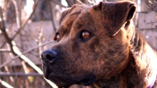 american pit bull terrier - par Beverly & Pack - https://www.flickr.com/photos/walkadog/