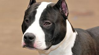 L'american staffordshire terrier  - par State Farm - https://www.flickr.com/photos/statefarm/