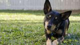 Berger Australien Kelpie - par chris.baxter - https://www.flickr.com/photos/mmbax/
