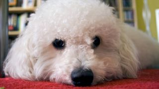 Bichon Bolonais - par Grace - https://www.flickr.com/photos/gcourbis/