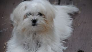 Bichon maltais - par Bad Apple Photography - https://www.flickr.com/photos/h-productions/