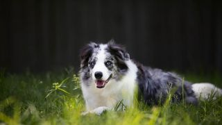 border collie - par GunnerVV - https://www.flickr.com/photos/44861310@N03/