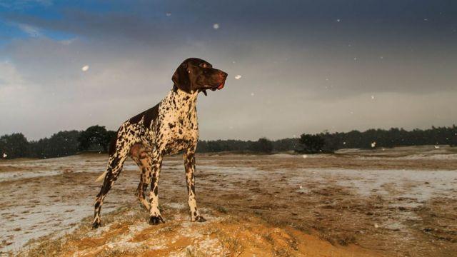 Braque allemand à poil court  - par Harold Meerveld - https://www.flickr.com/photos/haroldmeerveld/