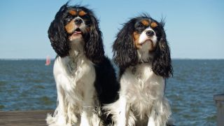 Cavalier King Charles Spaniel - par David Shankbone - https://www.flickr.com/photos/shankbone/