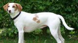 Le chien courant d'Istrie à poil ras - par ? - https://en.wikipedia.org/wiki/Istrian_Shorthaired_Hound#/media/File:Istrische_Bracke.jpg