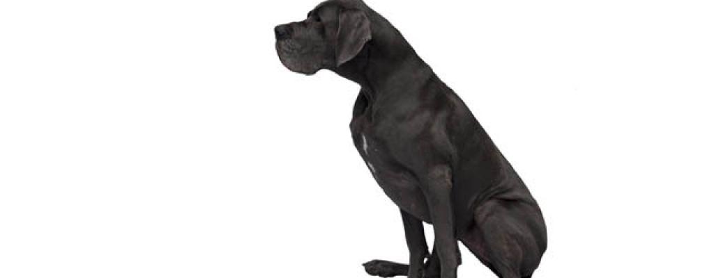 Le dogue allemand - par Lily - https://www.flickr.com/photos/71561164@N00/