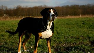 Grand bouvier suisse - par Grete Stadlbauer - https://www.flickr.com/photos/sennenhunde/