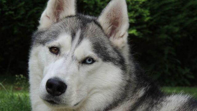 Le Husky Sibérien, chien de traineau - par huskyman1960 - https://www.flickr.com/photos/91255525@N07/