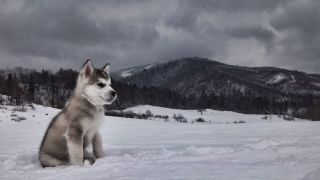 Chiot Malamute d'Alaska dans la neige - par Michal Sanitra - https://www.flickr.com/photos/94554020@N06/