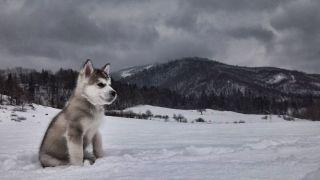 Chiot Malamute d'Alaska dans la neige - par Michal Sanitra - https://www.flickr.com/photos/94554020@N06/