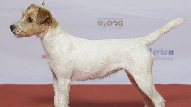 Parson Russell terrier - par Svenska Mässan - https://www.flickr.com/photos/svenskamassan/