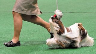 Shih tzu en exposition - par State Farm - https://www.flickr.com/photos/statefarm/