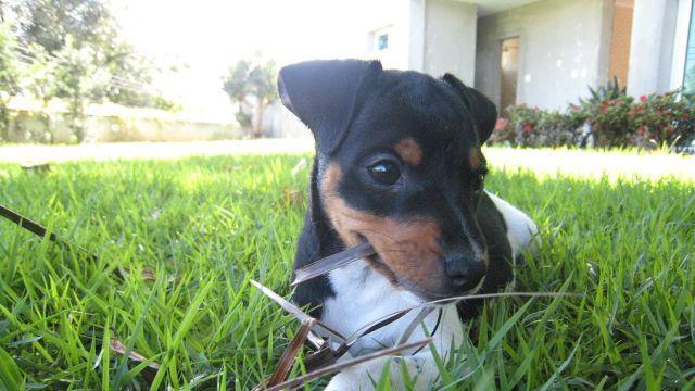Terrier Brésilien - par Marcelo Jorge Vieira - https://www.flickr.com/photos/marcelometal/