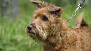 Terrier Irlandais - par smerikal - https://www.flickr.com/photos/smerikal/