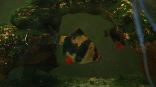 barbus de sumatra - par wooki - http://www.wooki.fr/
