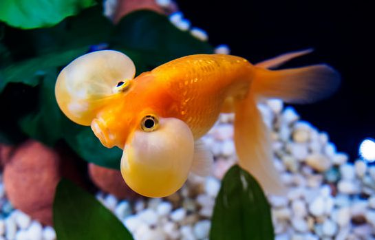 une variante du poisson rouge, le bubble eye