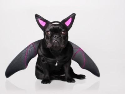BatDog : le chien chauve souris