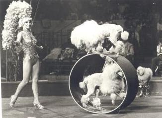 Caniche au cirque
